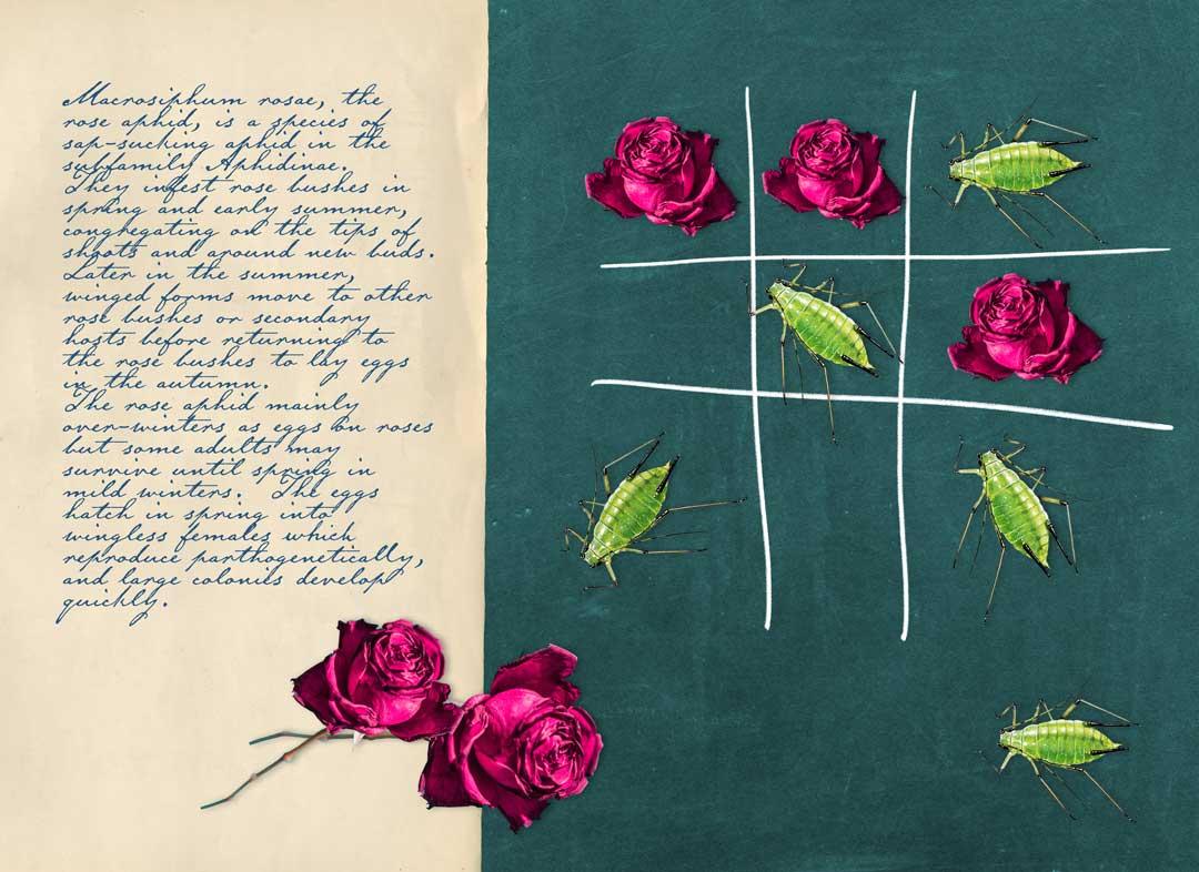 futile games #1: roses vs aphids